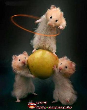 Hamsteri Pitici Roborovski