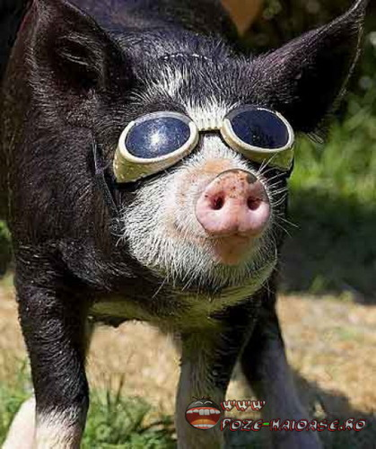 Poze Porc Cu Ochelari 2021