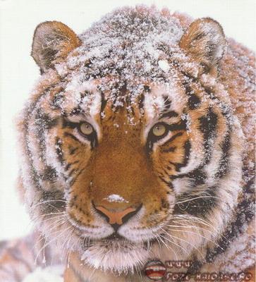 Poze Tigri 2021